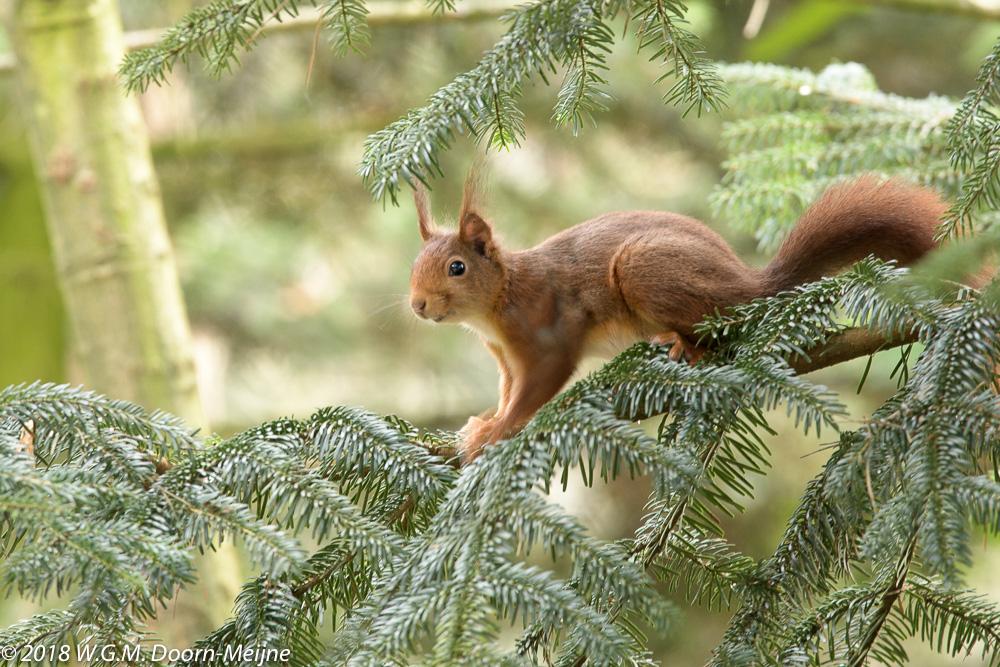 eekhoorn(Sciurus vulgaris)