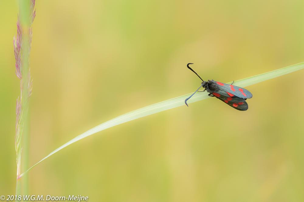 St. Jansvlinder (Zygaena filipendulae)