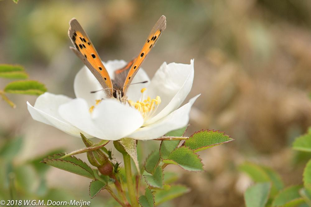Kleine vuurvlinder in een roosje (Lycaena phlaeas)