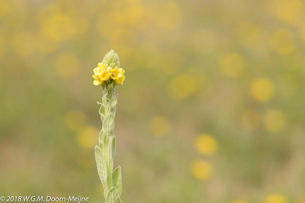 Koningskaars (Verbascum thapsus)