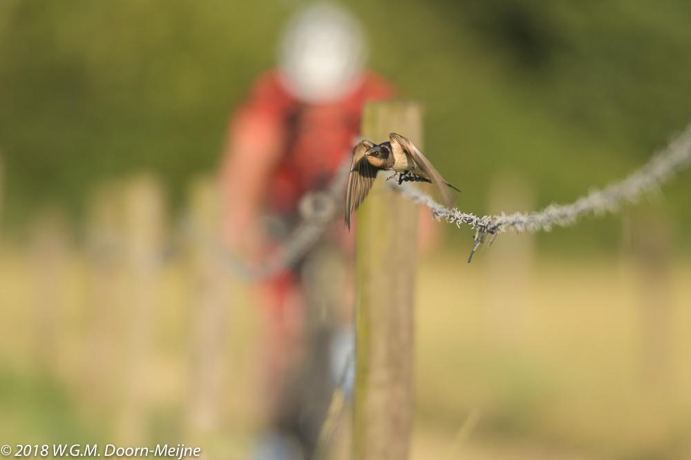 boerenzwaluw(Hirundo rustica)