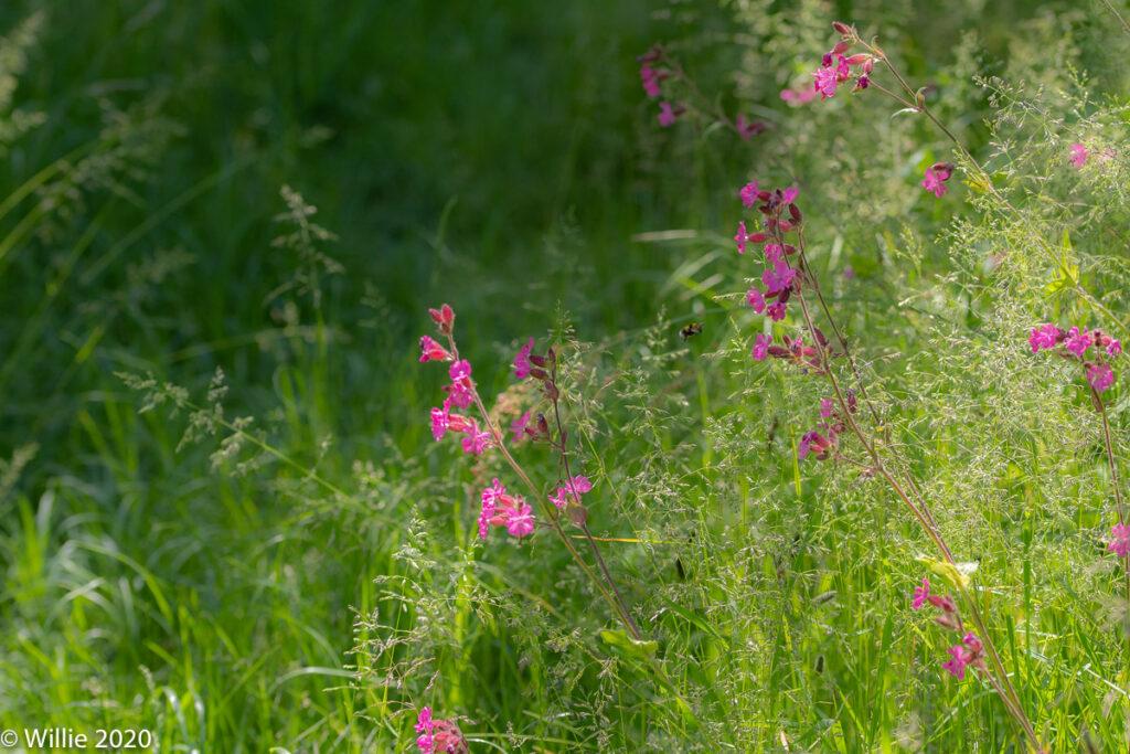 Dagkoekoeksbloemen