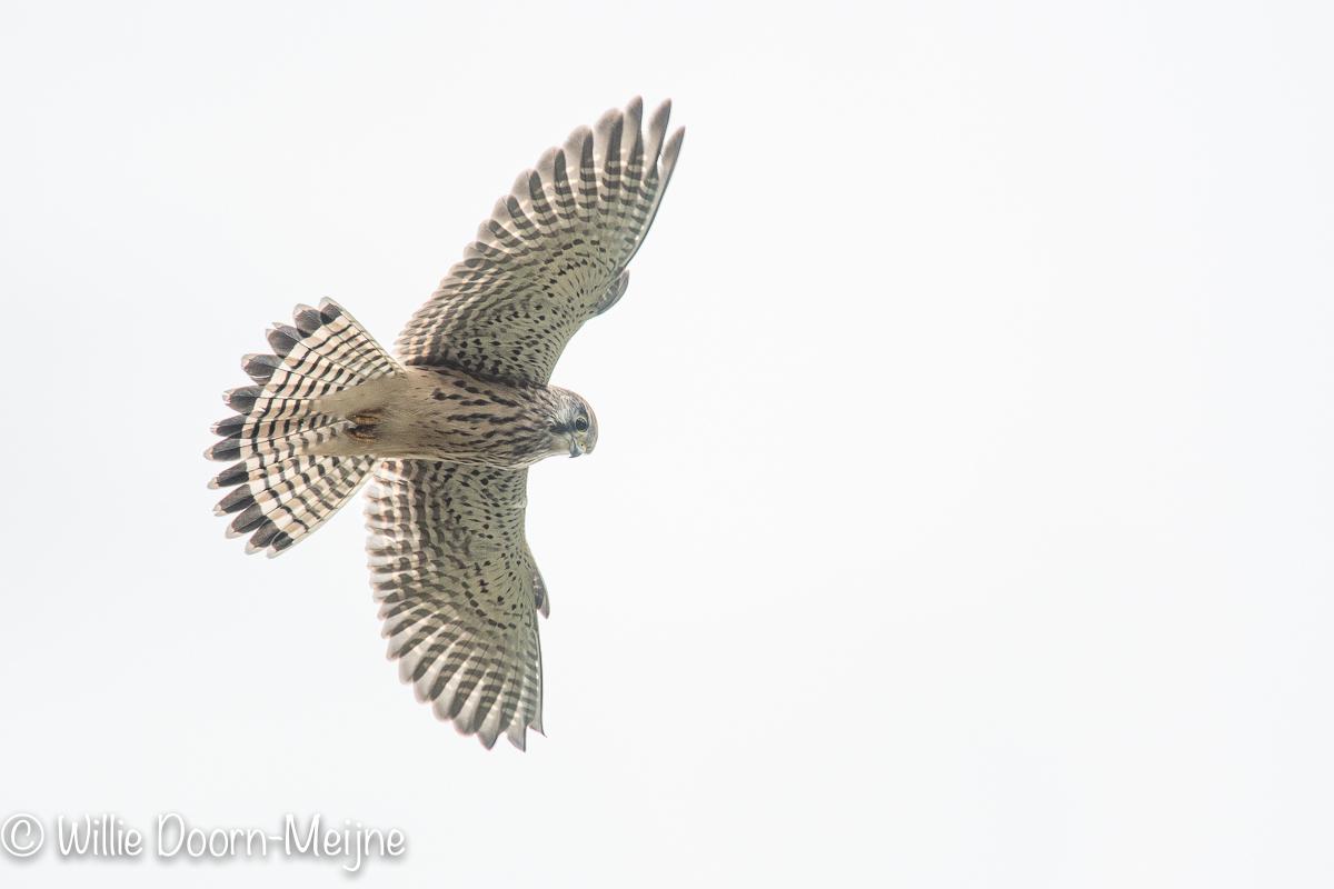 Torenvalk Falco tinnunculus